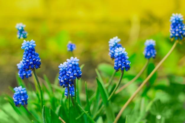 Close up blue spring flowers