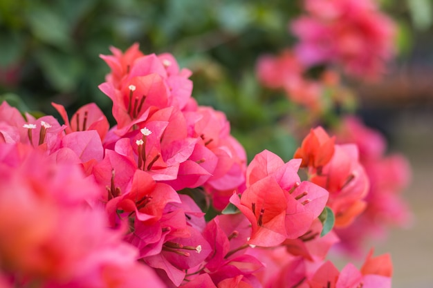 Close up  bougainvillea vivid color and blurry background