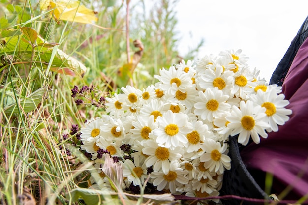 Close-up of a bouquet of daisies lies in a burgundy backpack on the grass. natural background, selective focus, copy space