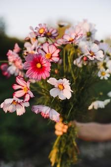 日没時に手でコスモスの花の花束を閉じます。夏の気分のコンセプト。