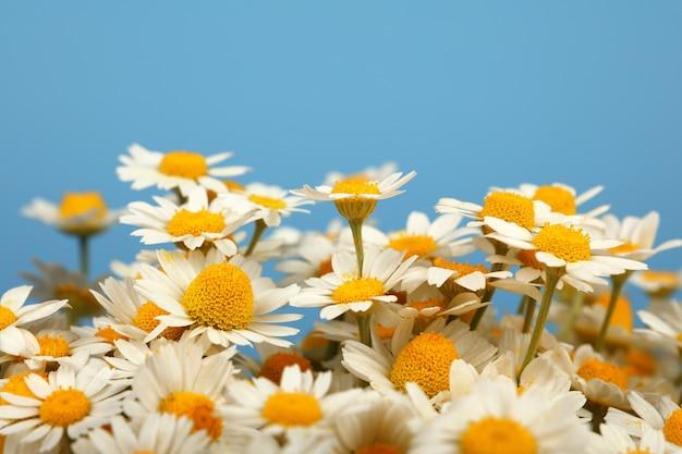 파란색 배경, 높은 각도 측면 보기 위에 신선한 흰색 카모마일 데이지 꽃의 꽃다발을 닫습니다