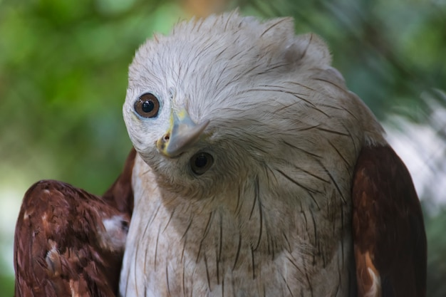 Close up brahminy kite, red-backed sea-eagle