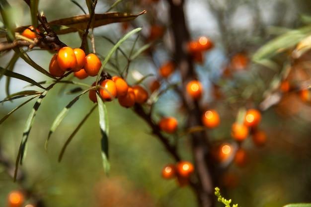 Закройте ветку апельсиновых ягод облепихи с ягодами облепихи и зелеными листьями