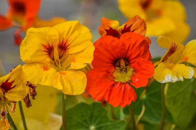 Close up bright orange and yellow nasturtium flowers, leaves in early summer, tropaeolum m