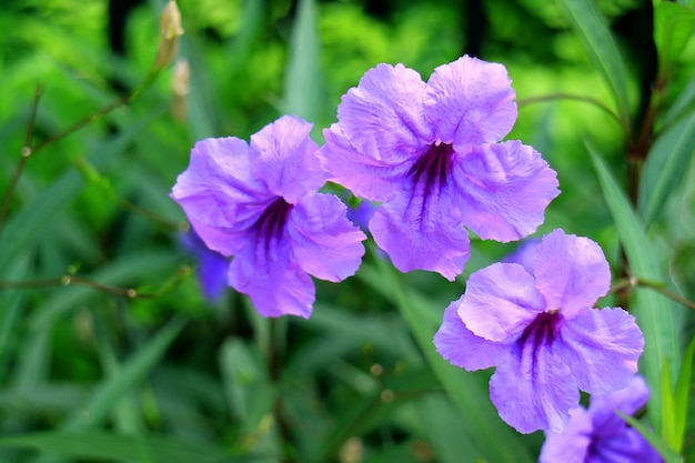 Close-up of bright purple mexican petunia on blurred vibrant green foliage in background