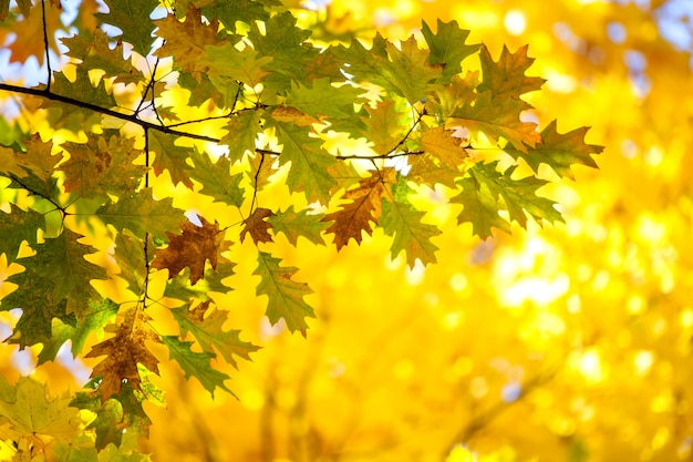 Close up of bright yellow and red maple leaves on fall tree branches with vibrant blurred background in autumn park.
