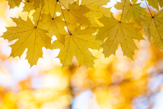 Close up of bright yellow and red maple leaves on fall tree branches with vibrant blurred surface in autumn park