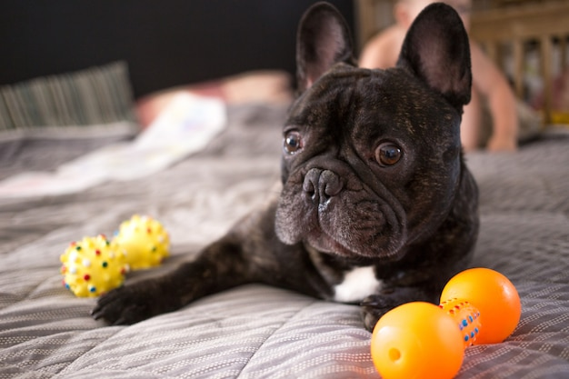 Close up brindle french bulldog playing with his toys on the bed
