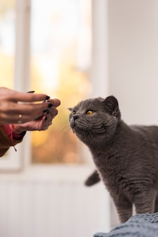 Close-up of british shorthair cat with owner