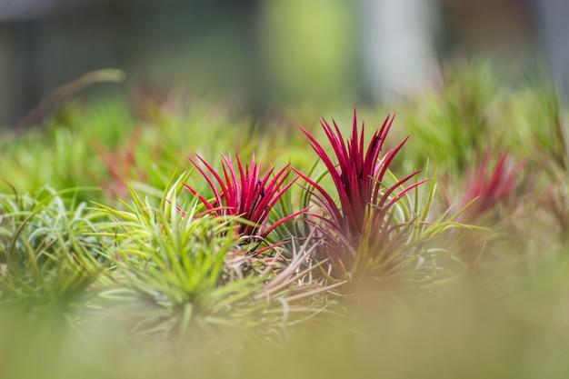 Close up bromeliad or aechmea fasciata on nature background.
