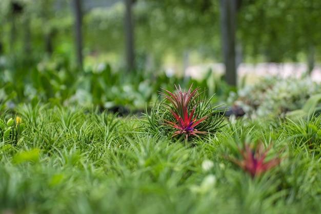 Close up bromeliad or aechmea fasciata on nature