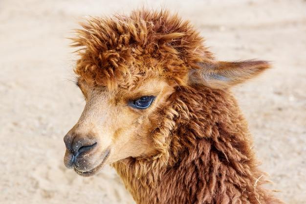 Close up of brown alpaca.