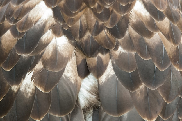 Close up of the brown feathers of a beautiful eagle, crossing of steppe and golden eagle
