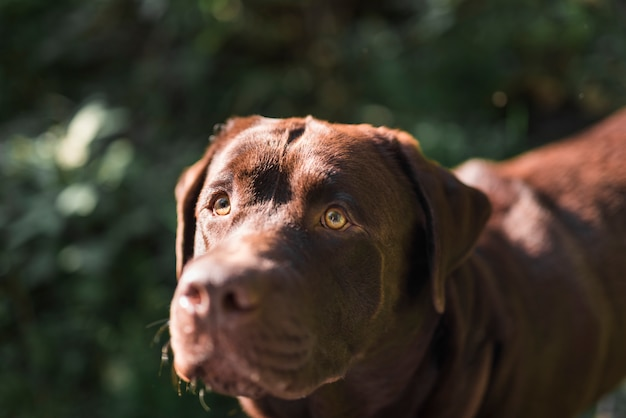 Close-up of a brown labrador