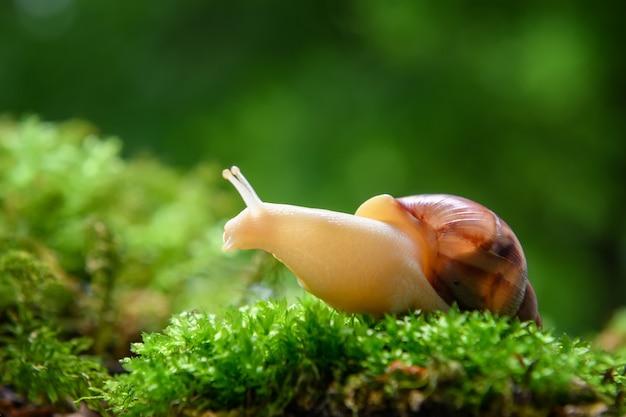 緑の苔の上にゾクゾクする茶色のカタツムリ (アフリカマイマイ) を閉じる