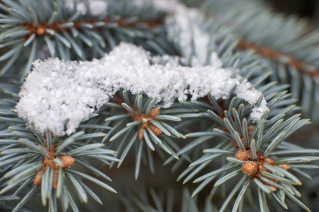 Бранч крупным планом из голубой ели со снегом