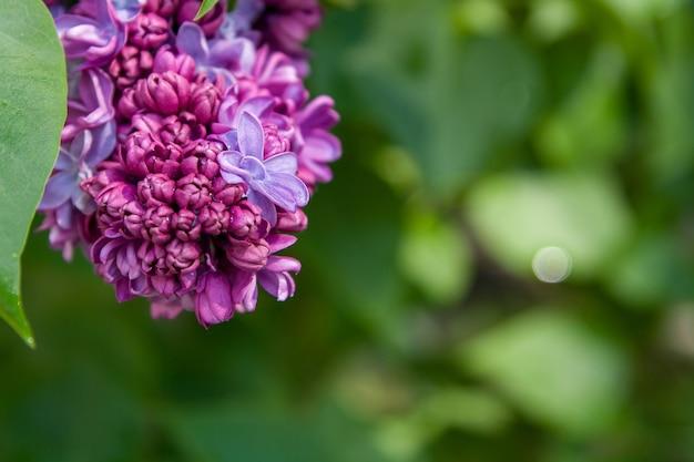 Крупным планом бутоны и сиреневый цветок после дождя на фоне зелени - весенняя концепция