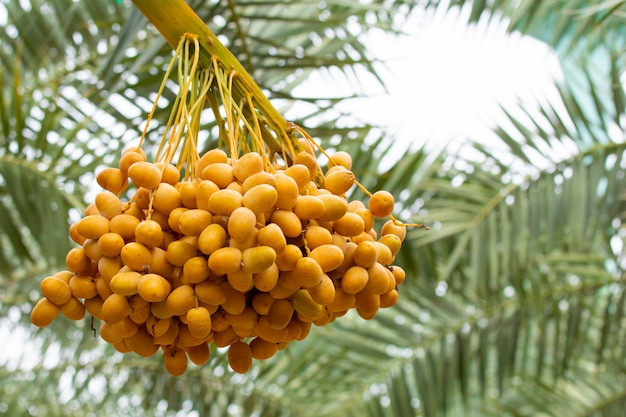 Close up of bunch of date palms