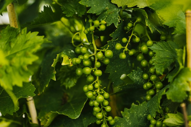 Close up bunch of young grapes