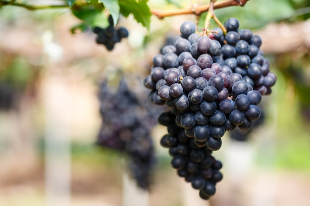 Close-up of bunches of ripe purple red wine grapes on vine