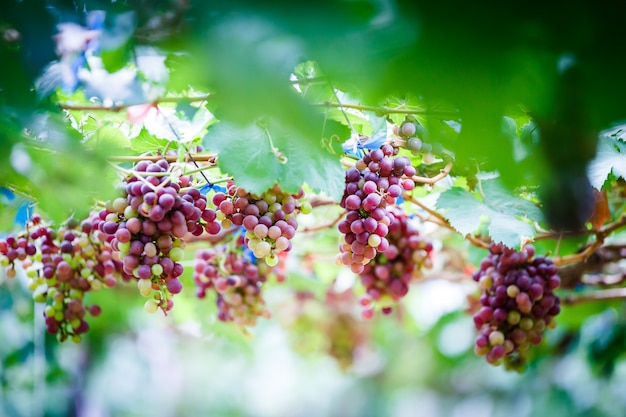 Close-up of bunches of ripe red grapes on the vine