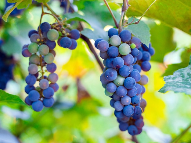 Close-up of bunches of ripe red wine grapes on vine, harvest