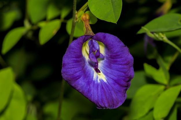 タイの自然庭園で蝶エンドウ豆の花を閉じる