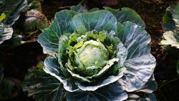 Close up on cabbage head