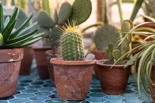 Close up of cactus plant in old terracota clay pot in greenhouse