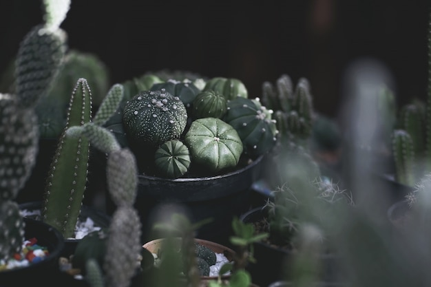 Close up of cactus plants in the pot