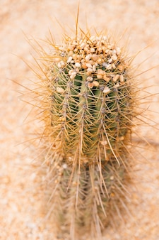 Close-up of a cactus with small pebble stones