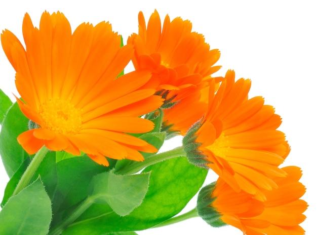 Закройте цветы календулы с листьями
