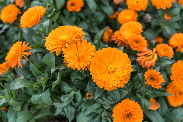 Close up of calendula flowers.