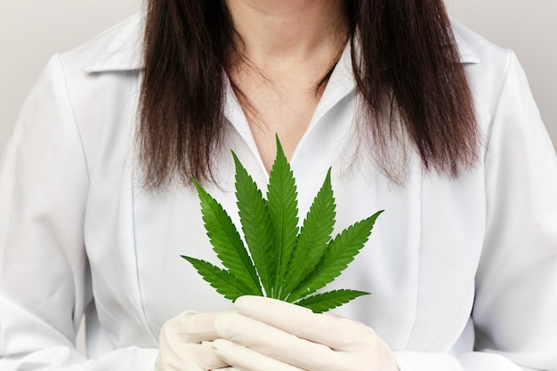 Close up cannabis leaf in doctors or pharmacists hands wearing rubber gloves and lab coat. production of healthy or bio organic products contained cannabinoids. legalization of marijuana