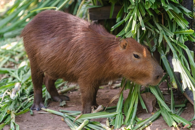 Close up capybara in zoo on grass