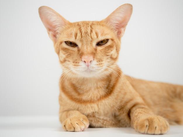 Крупным планом кошка лежит на столе и смотрит в камеру