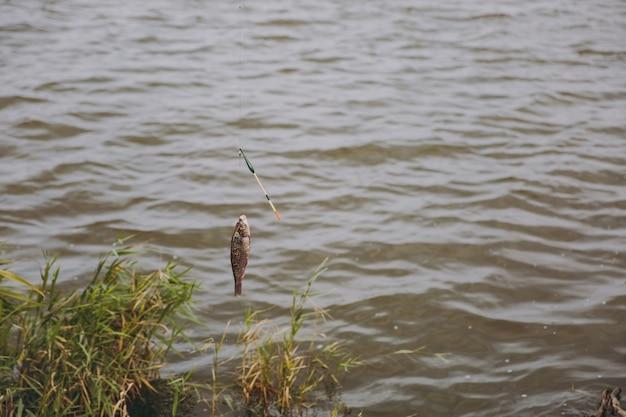 Chiuda sul pesce pescato che viene tirato fuori dall'acqua catturato al gancio dalla canna da pesca sulla riva del lago su sfondo di canne. stile di vita, ricreazione, concetto di svago del pescatore. copia spazio per la pubblicità.