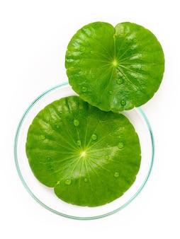흰색 배경 상단 보기에 격리된 페트리 접시에 빗방울이 있는 센텔라 아시아티카 잎을 닫습니다.