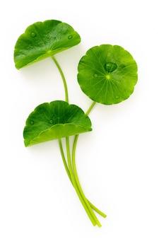 흰색 배경 상단 보기에 격리된 빗방울이 있는 센텔라 아시아티카 잎을 닫습니다.