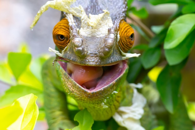 Close up on a chameleon on a branch