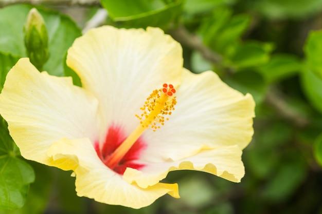 열대 낙원을 상징하는 복사 공간이있는 쾌활한 노란색 히비스커스를 닫습니다