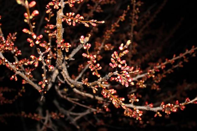 검은 배경에 벚꽃을 닫습니다-재고 이미지입니다. 복사 공간이 있는 어두운 하늘에 피는 일본 사쿠라 꽃봉오리와 꽃.