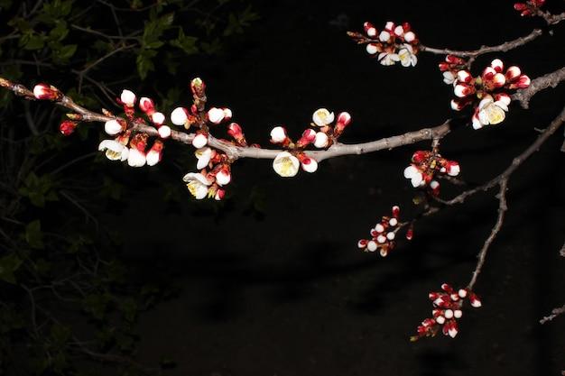검은 배경에 벚꽃을 닫습니다-재고 이미지입니다. 복사 공간이 있는 어두운 하늘에 피는 일본 사쿠라 꽃봉오리.