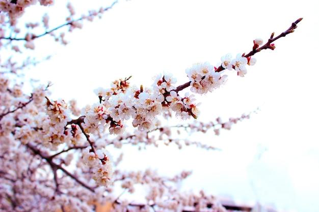 흰색 배경에 벚꽃을 닫습니다-재고 이미지입니다. 복사 공간이 있는 밝은 하늘에 피는 일본 사쿠라 꽃봉오리와 꽃.