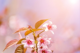 Close-up cherry blossom with Blue Sky Background Thai Sakura Blooming During Winter