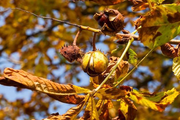 Close up on chestnut leaves