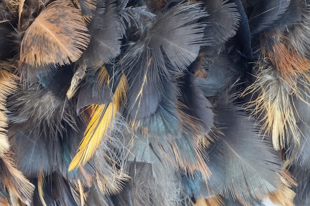 Close-up chicken feather texture for background