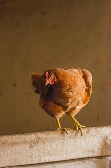Close up  chicken. portrait of chicken on hen coop