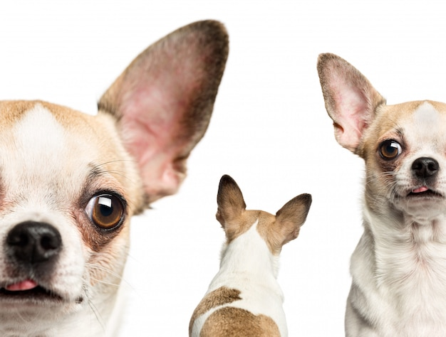 Close-up of chihuahuas isolated on white