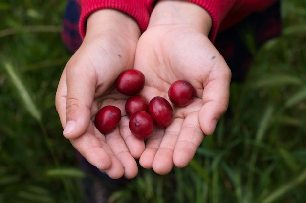 Close up child hands holding red fruits on green grass background